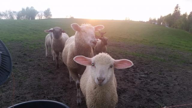"""Owce i barany [envira-gallery id=""""107""""]"""